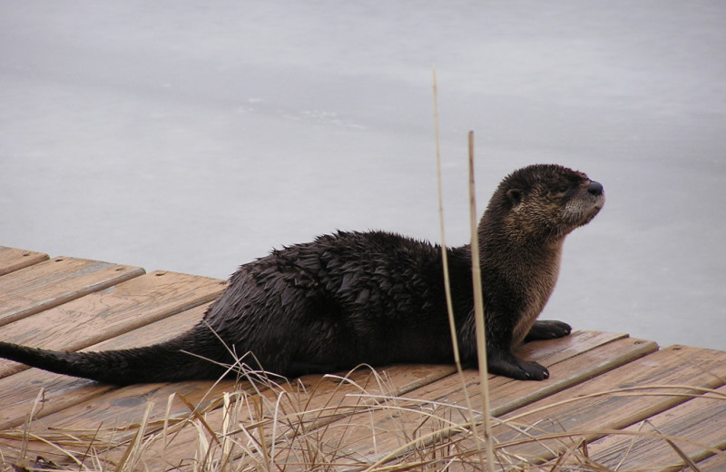 Otter at Kokomo Resort.