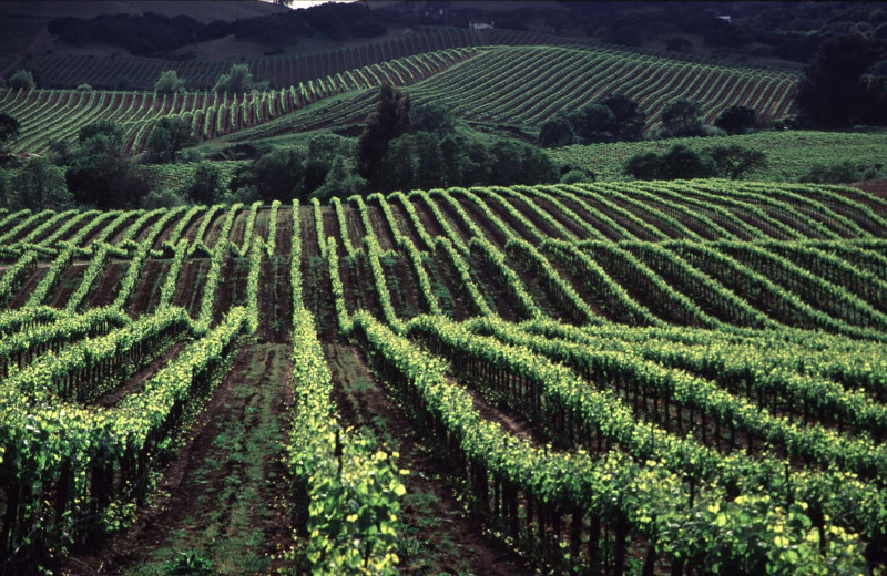 Local vineyards near Sonoma Coast Villa & Spa Resort.