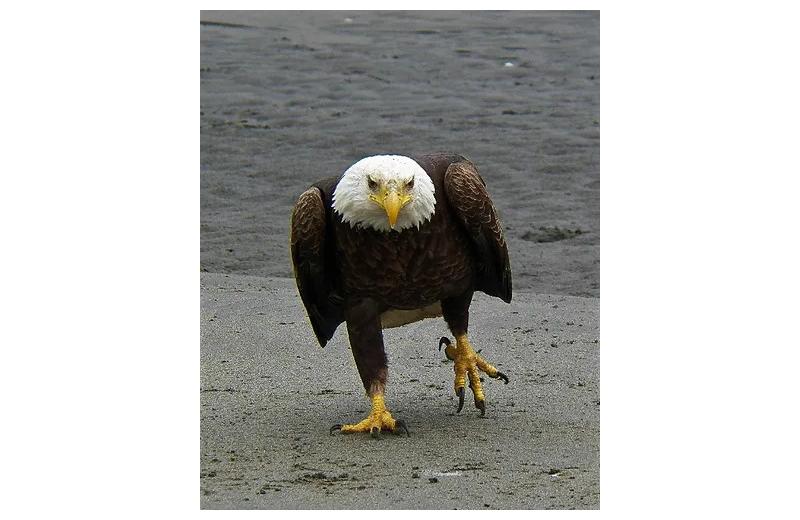 Eagle at Sleepy Bear Cabins.