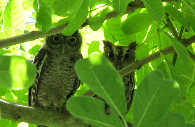 Local owls at Miami Everglades.