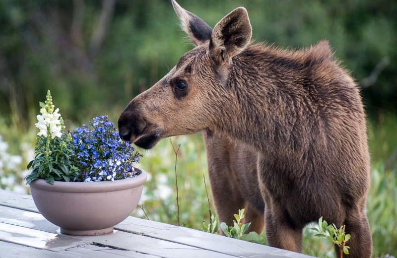 Moose at Sheep Mountain Lodge.