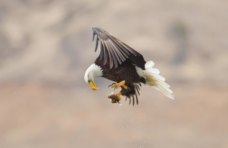 Eagle catching a fish at Lake Don Pedro.