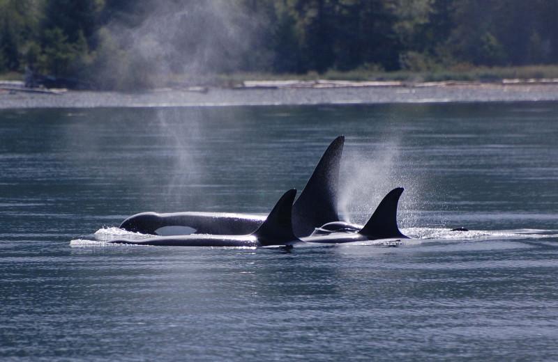 Whales at Lund Resort at Klah ah men.