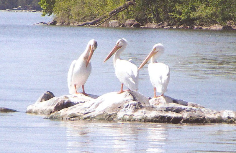Pelicans at Norway Point Resort.