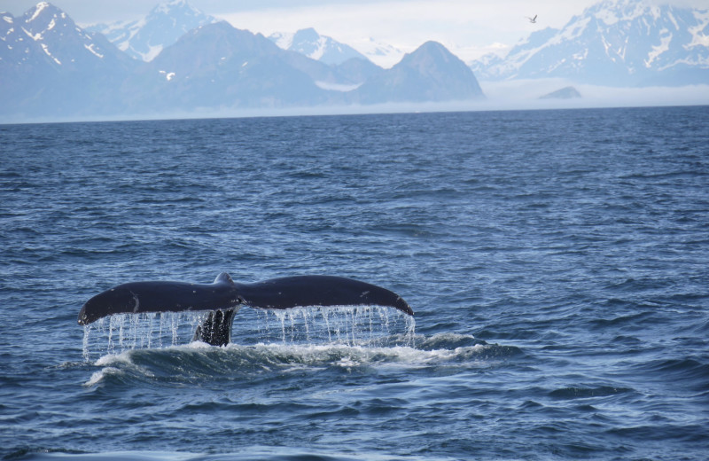 Whale watching at Gwin's Lodge & Kenai Peninsula Charter Booking Service.