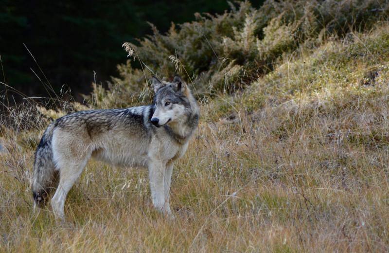 Wolf at Johnston Canyon Resort.