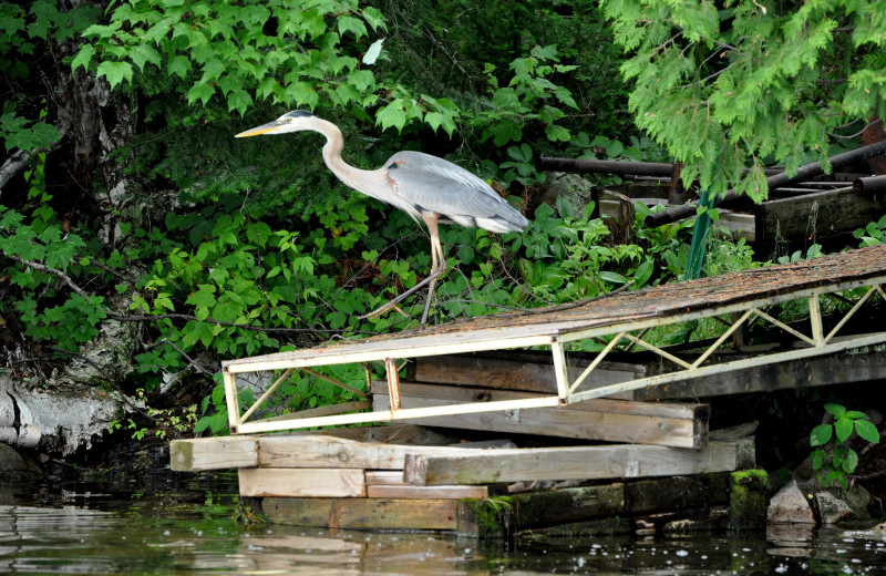 Heron at Cabin O'Pines Resort & Campground.