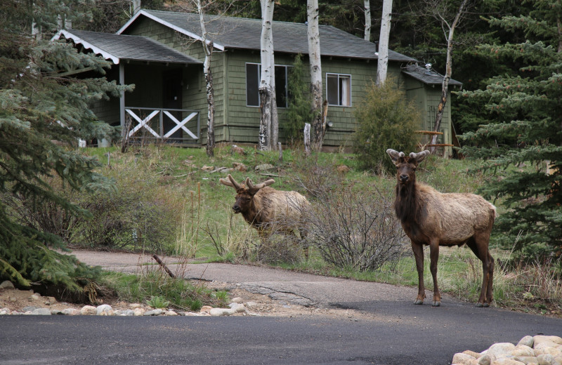Elk at Workshire Lodge.