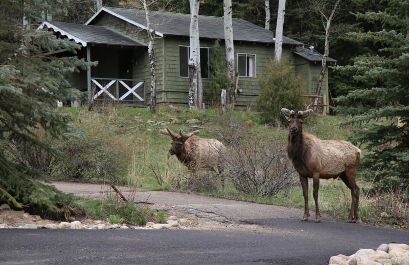 Elk at Workshire Lodge.