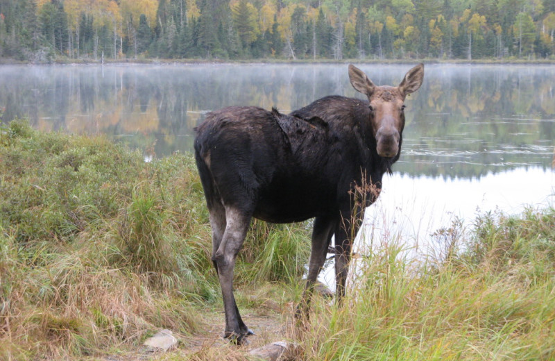 Moose at Clearwater Historic Lodge & Canoe Outfitters.
