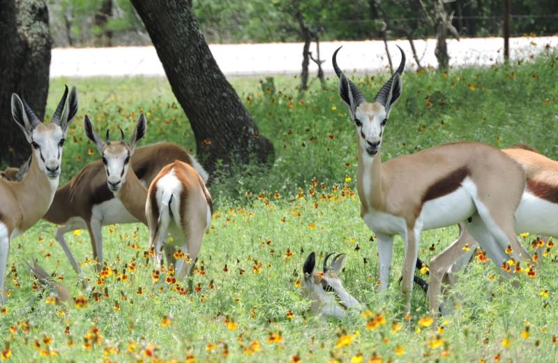Deer at The Exotic Resort Zoo.