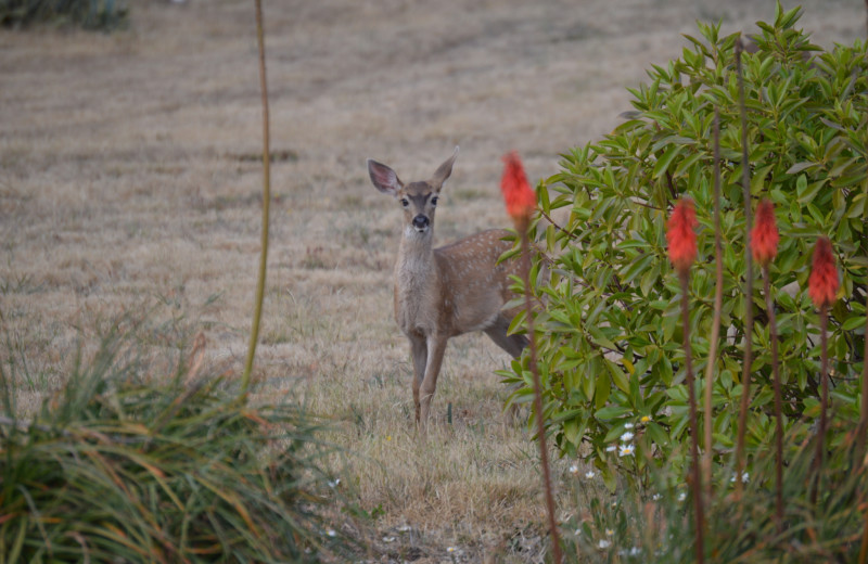 Deer at Irish Beach Vacation Rentals.