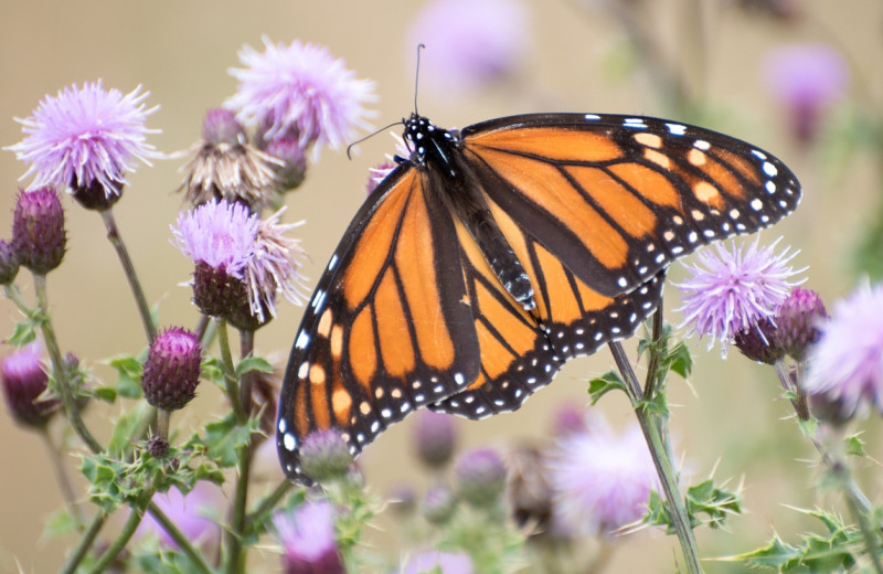 Monarch at Brier Island Lodge and Resort.