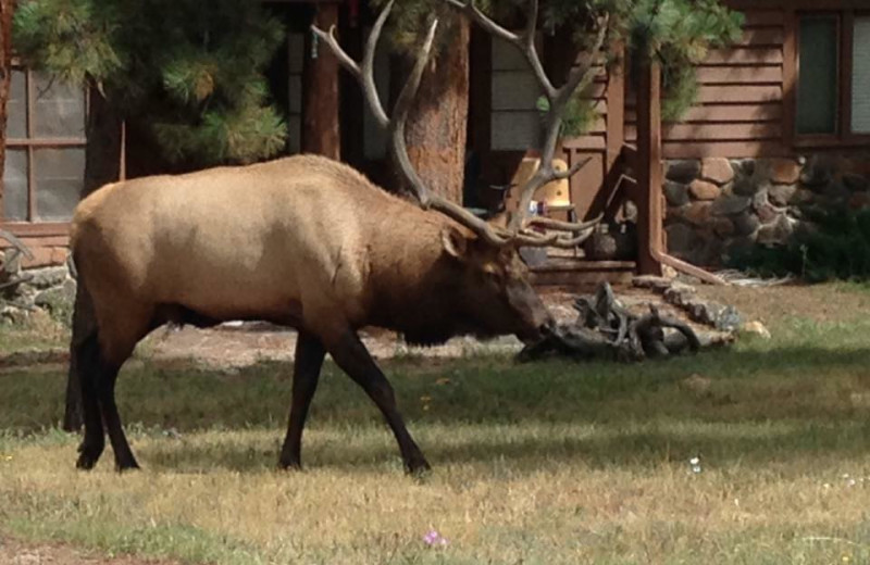 Elk at Colorado Bear Creek Cabins.