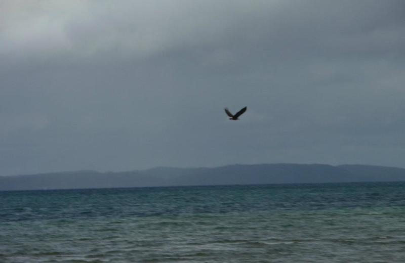Eagle flying over lake at Tamarack Lodge.