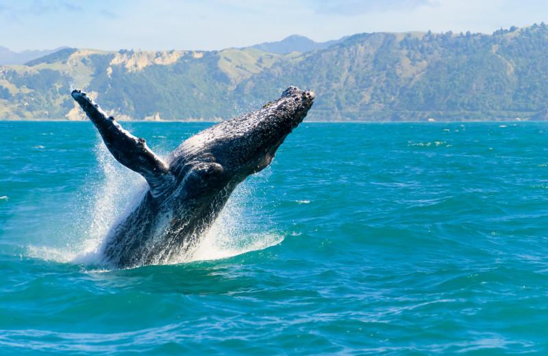 Whale watching at Surfrider Resort.