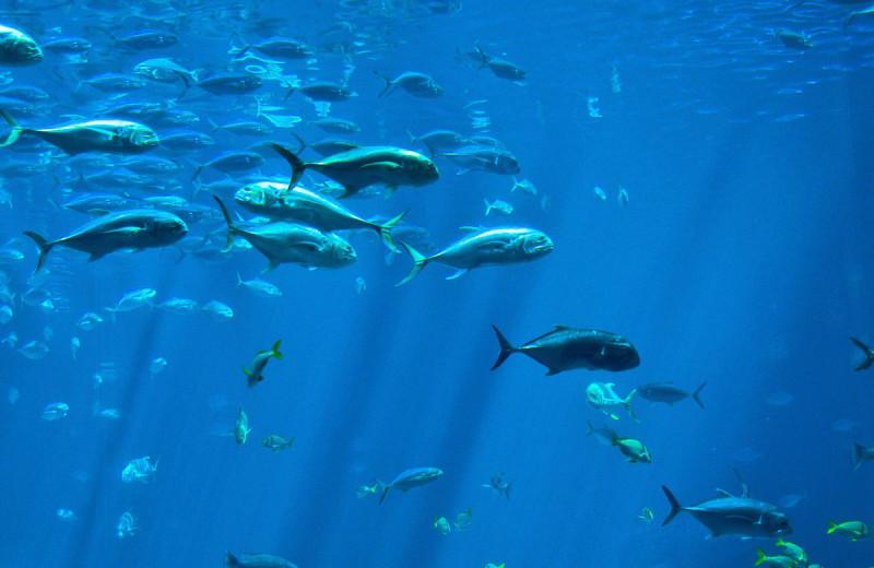 Fish at Pajaro Dunes Resort.