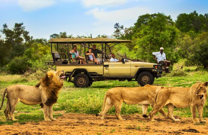 Lions at Honeyguide Tented Safari Camp.