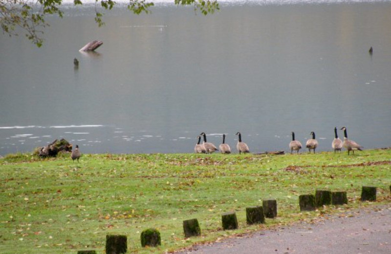 Geese swimming in lake at Rain Forest Resort.