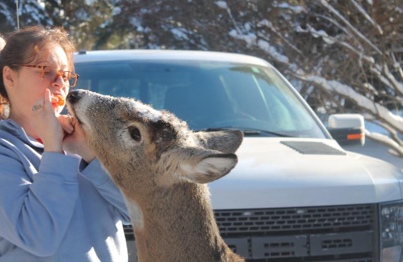 Feeding deer at Tallpine Lodges.
