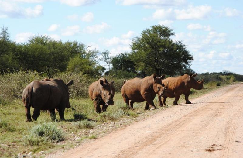 Rhinos at Tau Game Lodge.