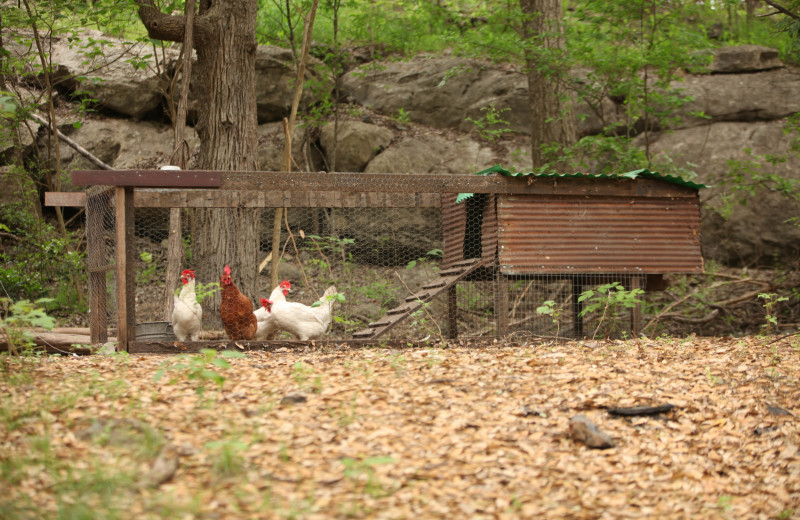 Chickens at Creekside Camp & Cabins.