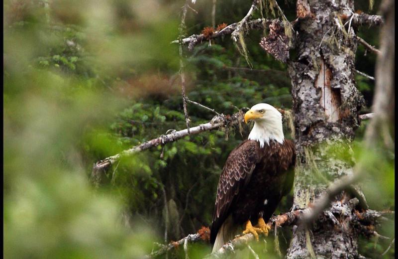 Eagle at Kenai Riverside Lodge.