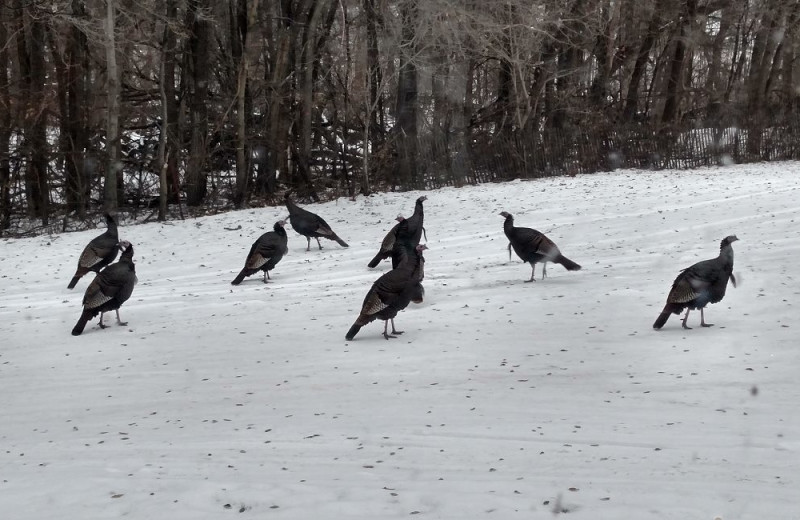 Turkeys at The Homestead at Ottertail RV Park and Resort.
