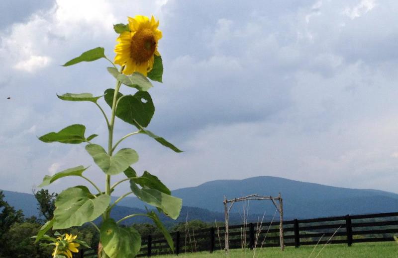 Sunflower at Montfair Resort Farm
