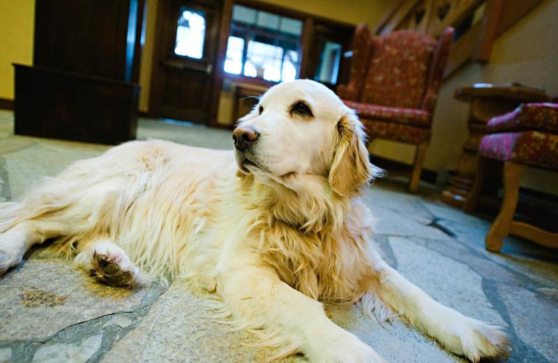 Hotel dog at Alpenhof Lodge.