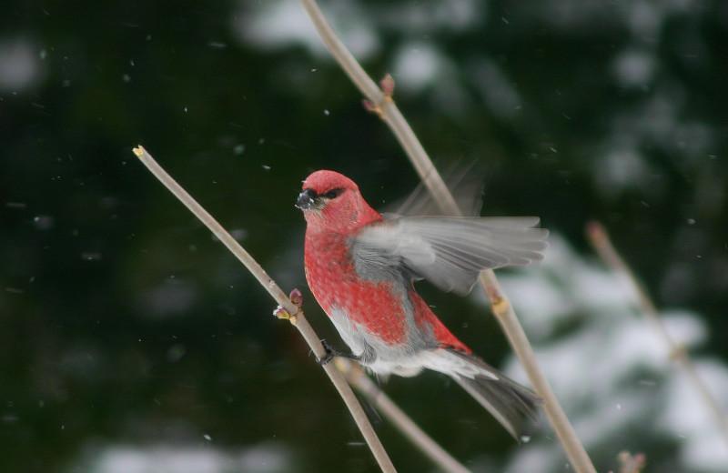 Birding at Gunflint Lodge.