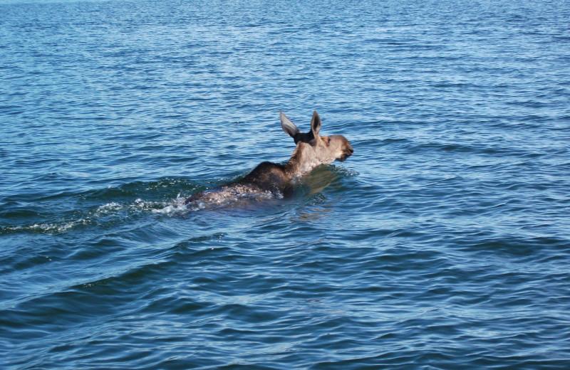 Moose at Bakers Narrows Lodge.