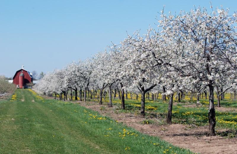 Apple orchard near Pheasant Park Resort.