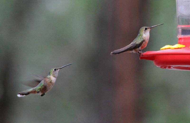 Hummingbirds at Lazy Oaks Resort.
