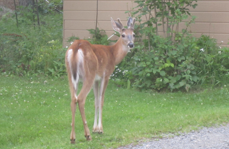 Keep your eye out for wildlife at Moosehorn Resort!
