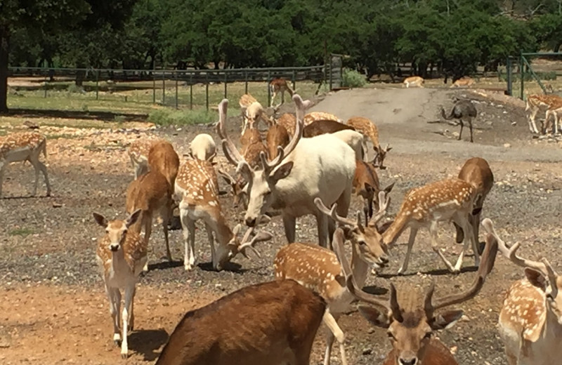 Hoofed animals at The Exotic Resort Zoo.