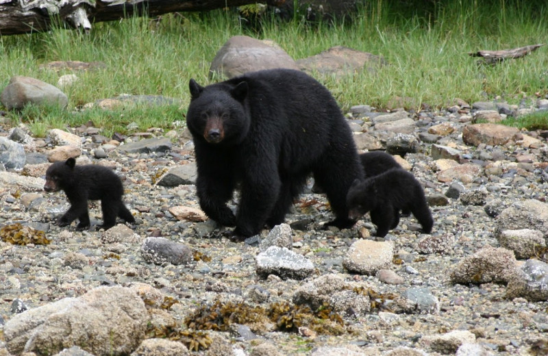 Black bears at Clayoquot Wilderness Resort.