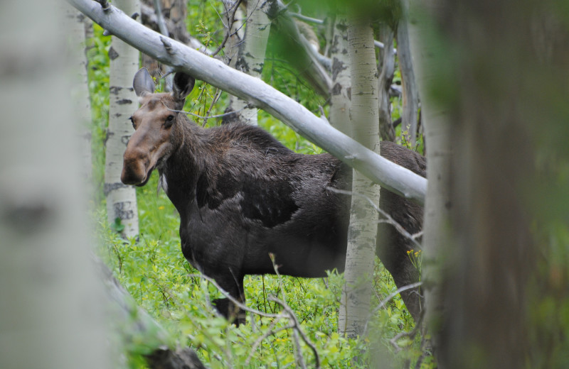 Cow moose along our road