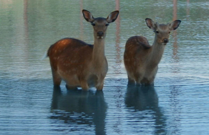 Deer enjoying a swim at The Exotic Resort Zoo.