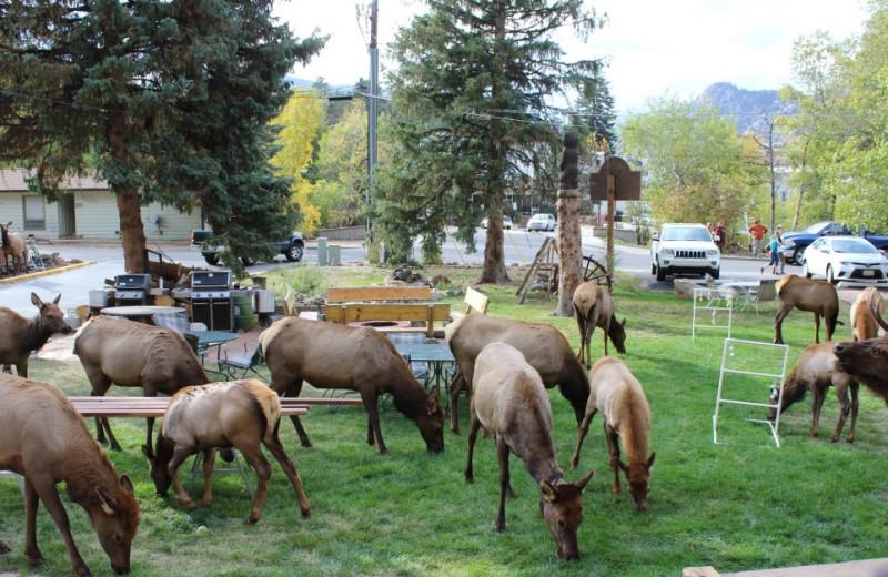 Elk at Misty Mountain Lodge.