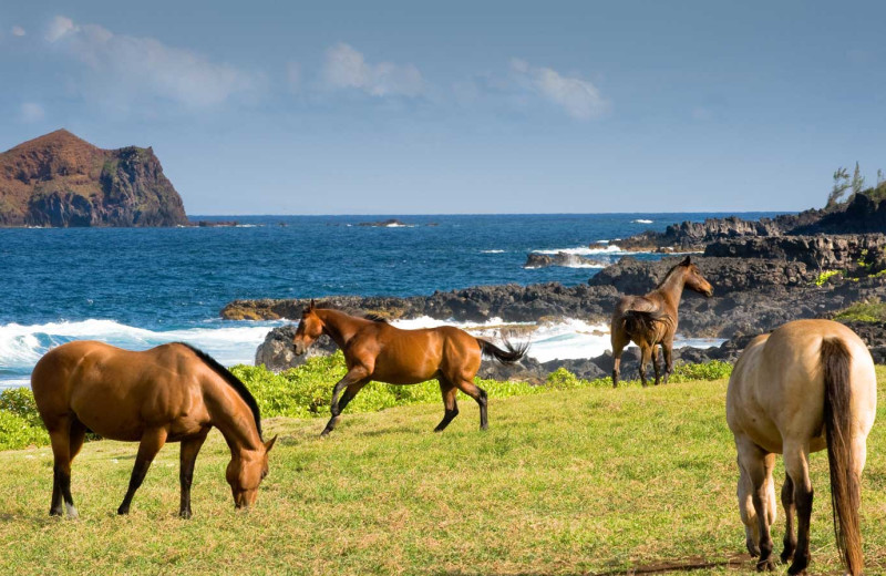 Horses at Travaasa Hana, Maui.