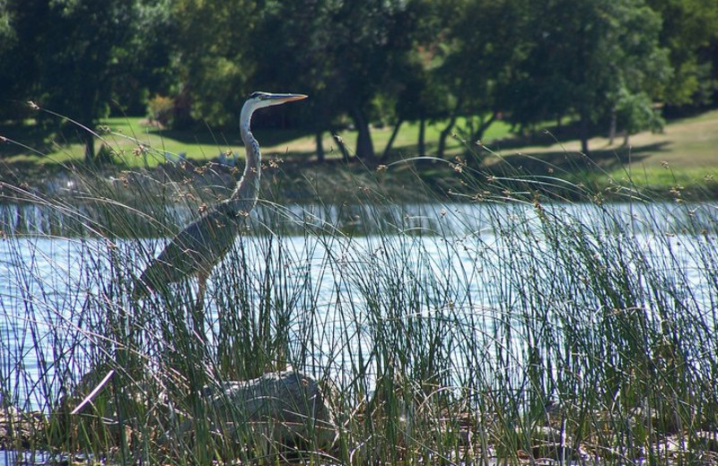 Great Blue Heron at Twin Lake Landing.