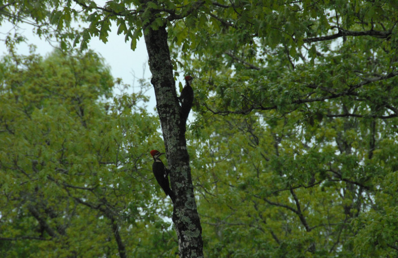 Woodpeckers at The White River Inn.
