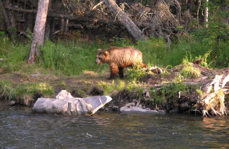 Bear at Kenai River Drifters Lodge.
