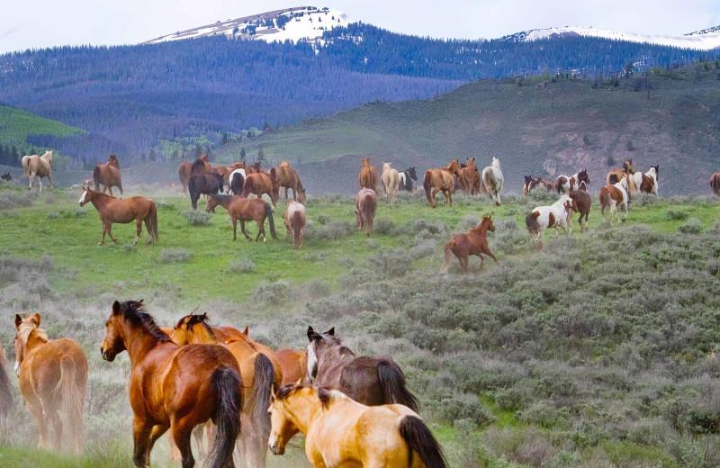 Horses running at C Lazy U Ranch.