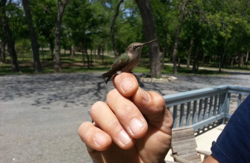 Hummingbird at Utopia on the River.