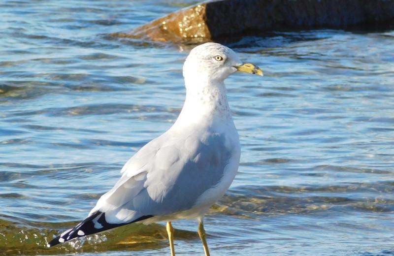 Seagull at Windjammer Lodge.
