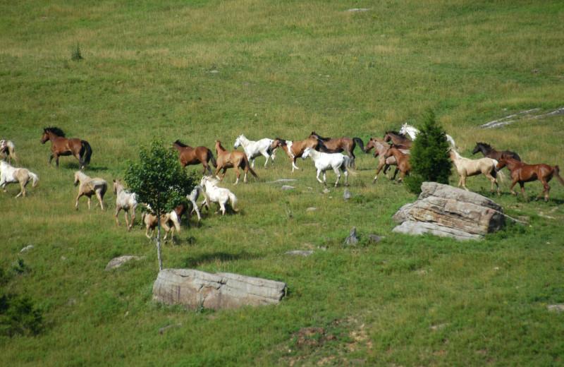 Running Horses at Horseshoe Canyon Ranch