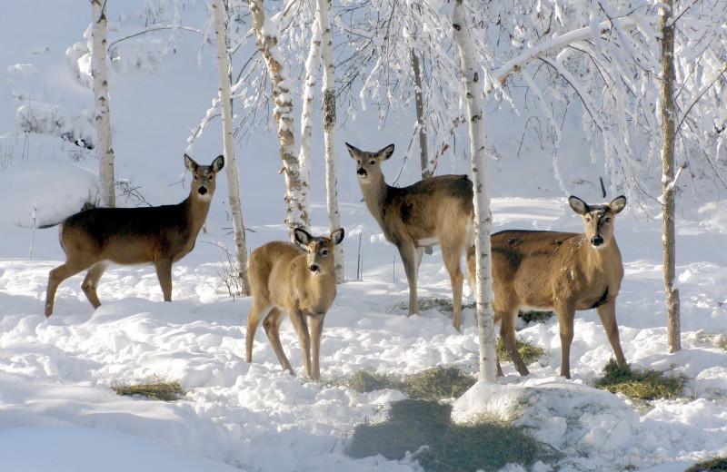 Deer at Scott's Peaceful Valley Resort.