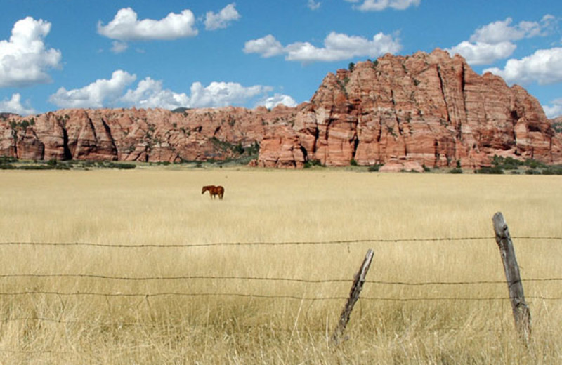 Cattle at Zion Ponderosa Ranch.